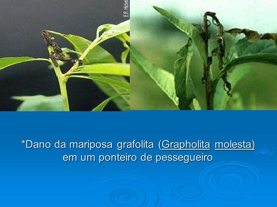 *Dano da mariposa grafolita (Grapholita molesta)