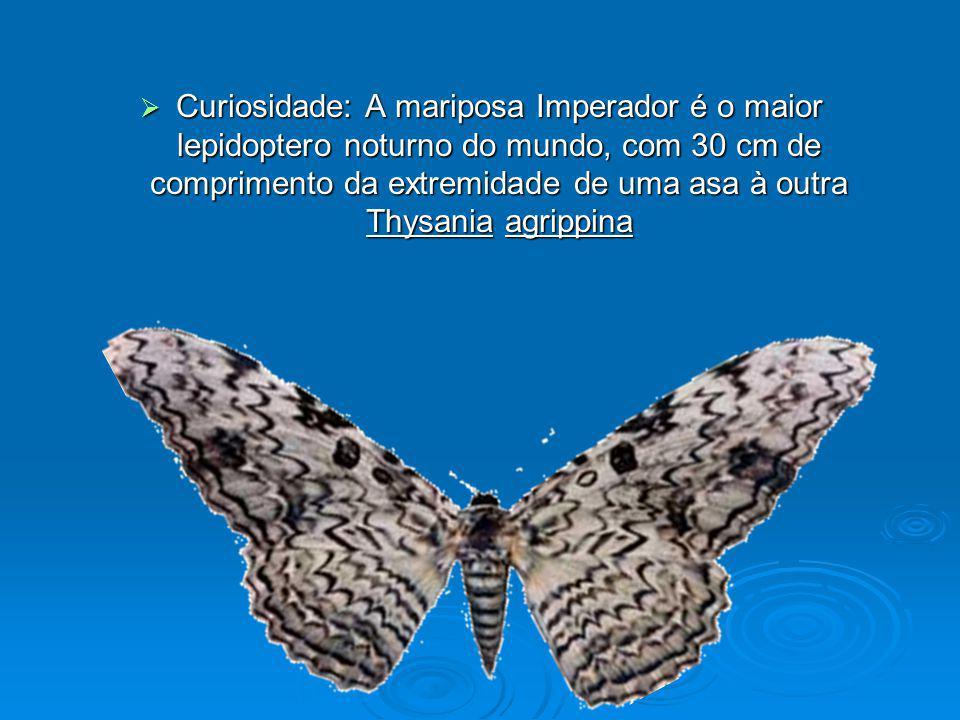 Curiosidade: A mariposa Imperador é o maior lepidoptero noturno do mundo, com 30 cm de comprimento da extremidade de uma asa à outra Thysania agrippina