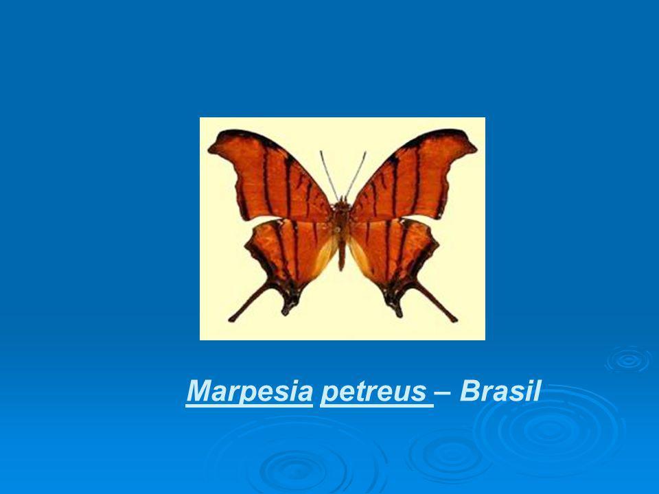 Marpesia petreus – Brasil