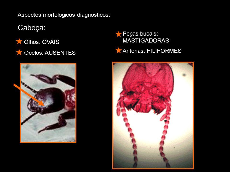 Cabeça: Olhos: OVAIS Aspectos morfológicos diagnósticos: