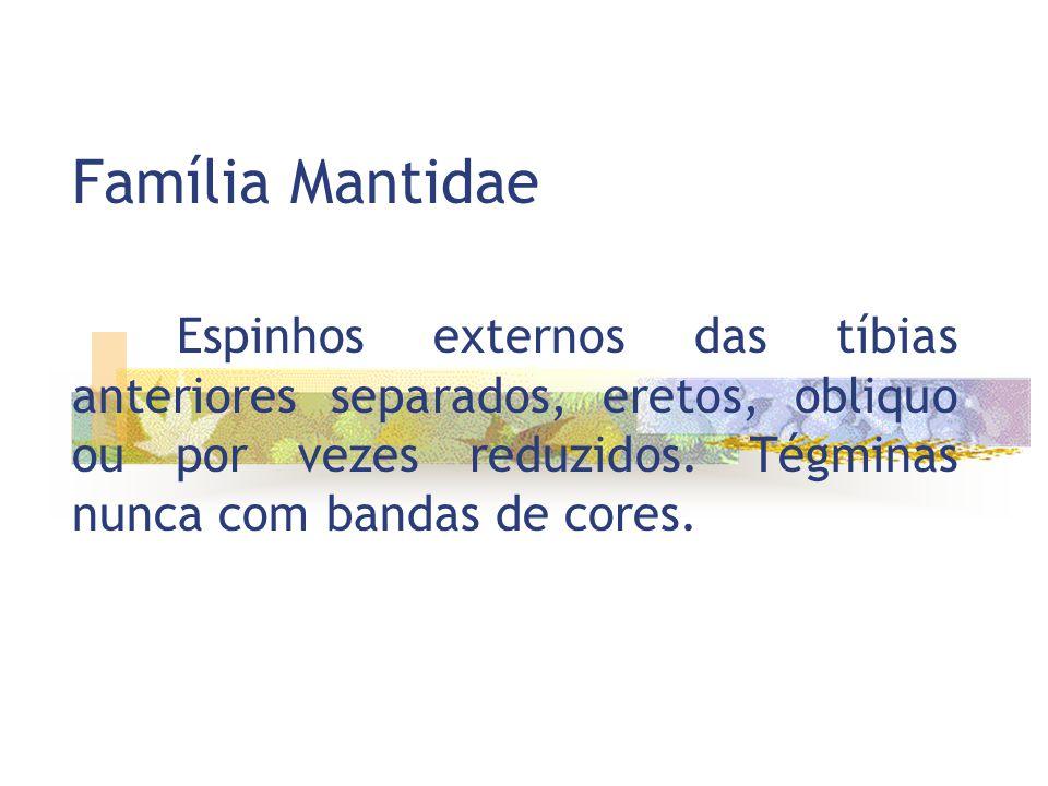 Família Mantidae Espinhos externos das tíbias anteriores separados, eretos, obliquo ou por vezes reduzidos.