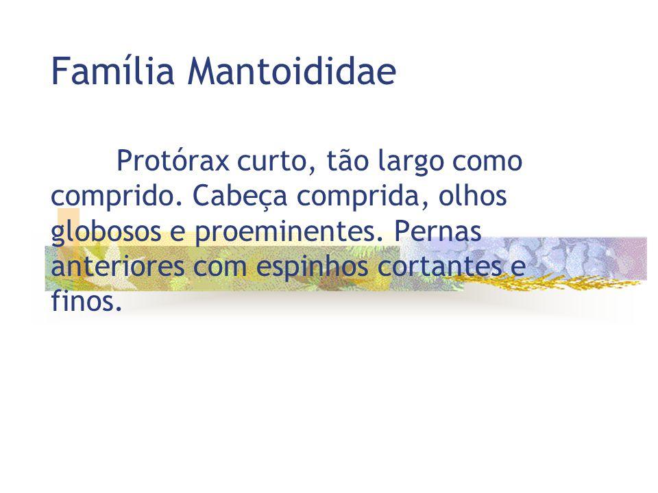 Família Mantoididae