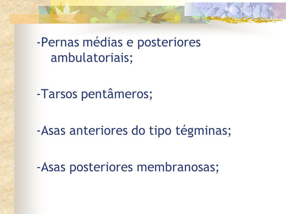 -Pernas médias e posteriores ambulatoriais;
