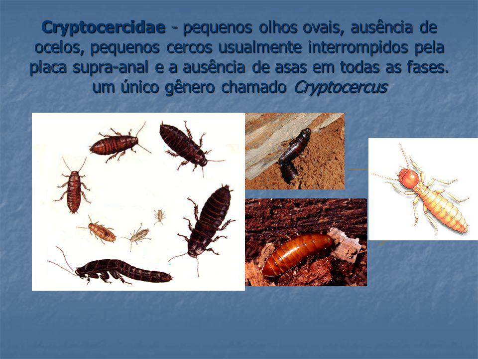 Cryptocercidae - pequenos olhos ovais, ausência de ocelos, pequenos cercos usualmente interrompidos pela placa supra-anal e a ausência de asas em todas as fases.