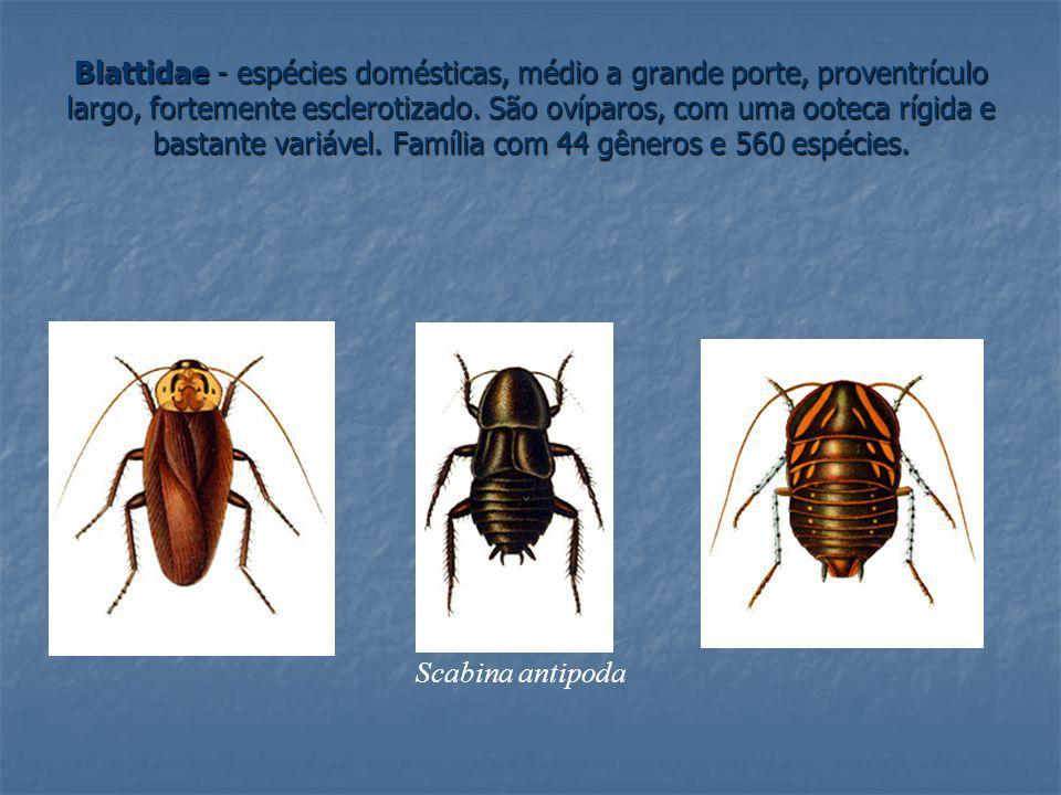 Blattidae - espécies domésticas, médio a grande porte, proventrículo largo, fortemente esclerotizado. São ovíparos, com uma ooteca rígida e bastante variável. Família com 44 gêneros e 560 espécies.
