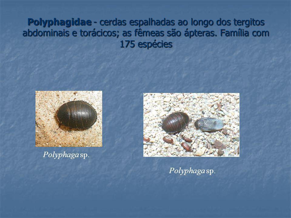 Polyphagidae - cerdas espalhadas ao longo dos tergitos abdominais e torácicos; as fêmeas são ápteras. Família com 175 espécies