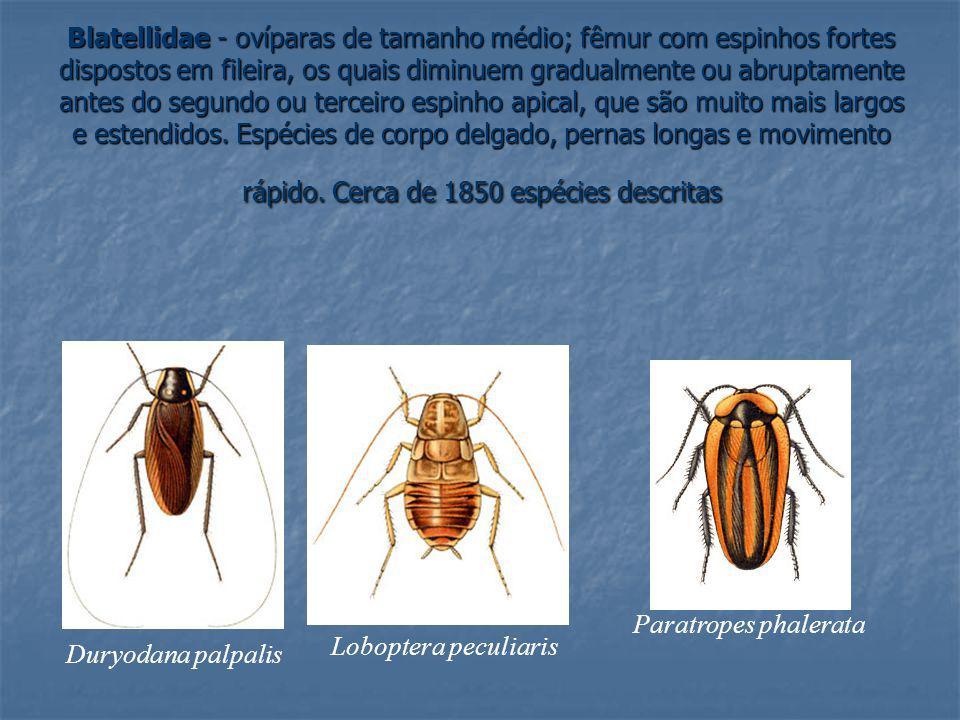 Blatellidae - ovíparas de tamanho médio; fêmur com espinhos fortes dispostos em fileira, os quais diminuem gradualmente ou abruptamente antes do segundo ou terceiro espinho apical, que são muito mais largos e estendidos. Espécies de corpo delgado, pernas longas e movimento rápido. Cerca de 1850 espécies descritas