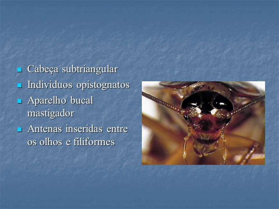 Cabeça subtriangular Individuos opistognatos. Aparelho bucal mastigador.