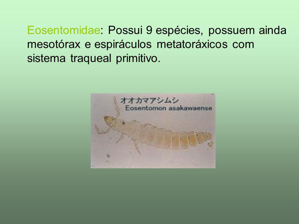 Eosentomidae: Possui 9 espécies, possuem ainda mesotórax e espiráculos metatoráxicos com sistema traqueal primitivo.