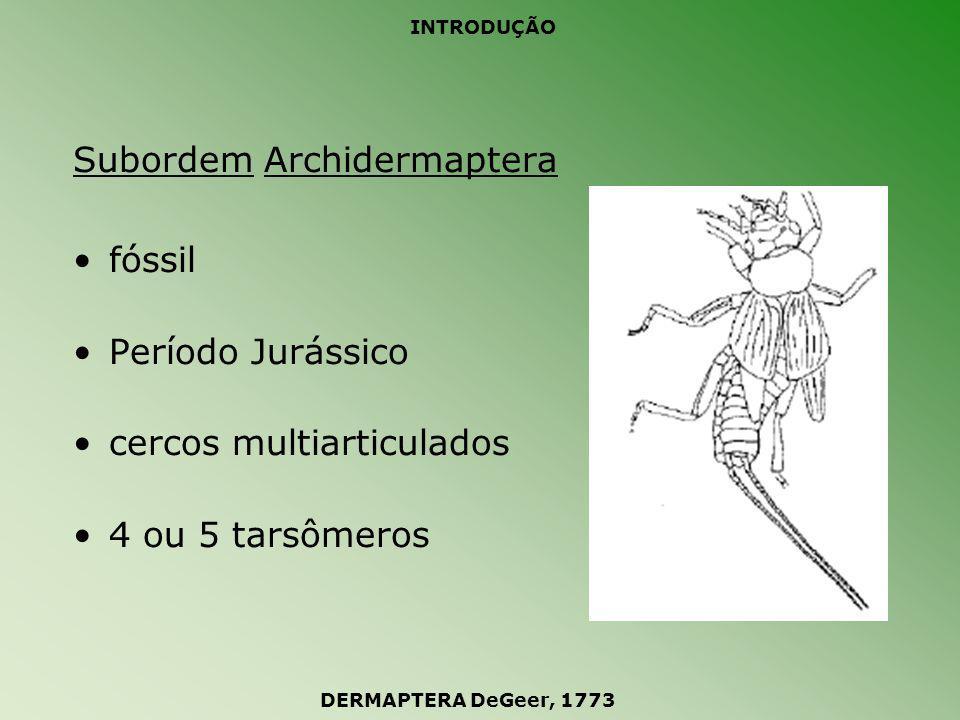 Subordem Archidermaptera fóssil Período Jurássico