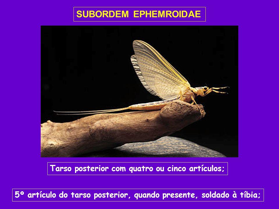 SUBORDEM EPHEMROIDAE Tarso posterior com quatro ou cinco artículos;