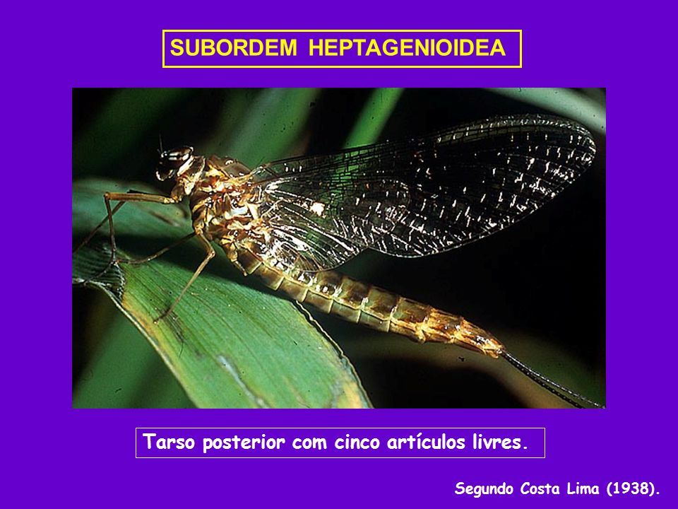 SUBORDEM HEPTAGENIOIDEA