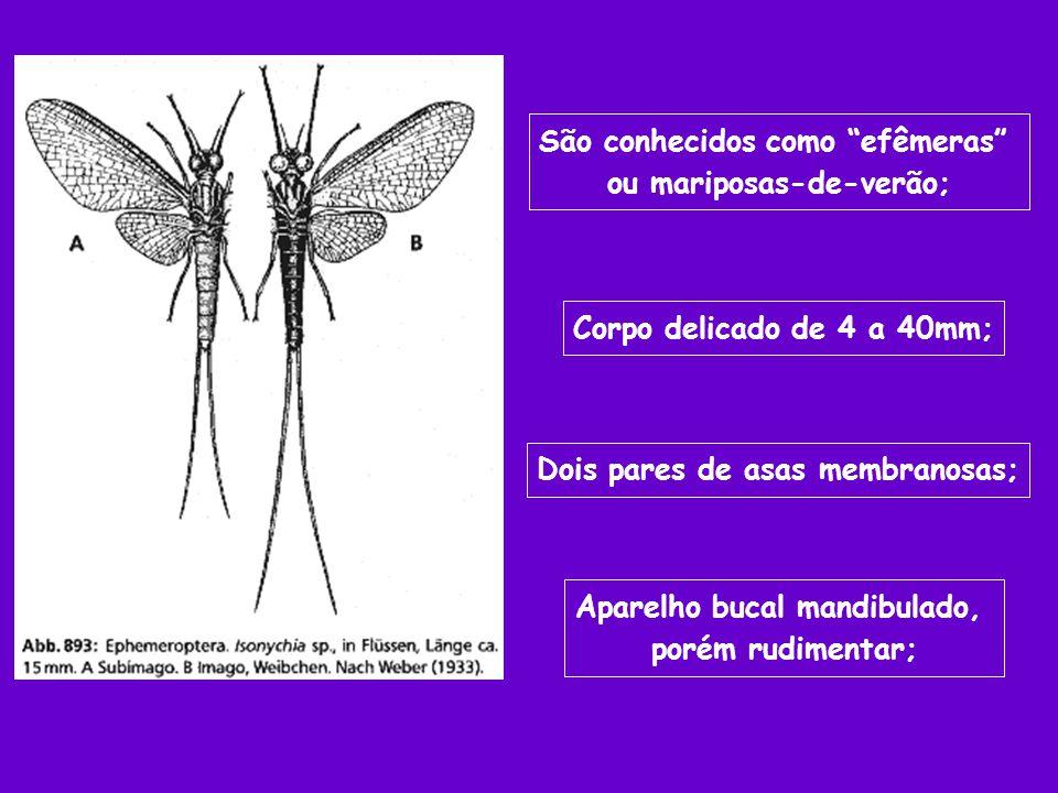 São conhecidos como efêmeras ou mariposas-de-verão;