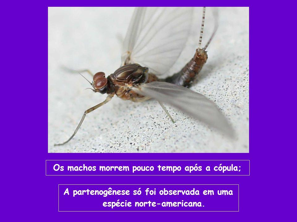 Os machos morrem pouco tempo após a cópula;