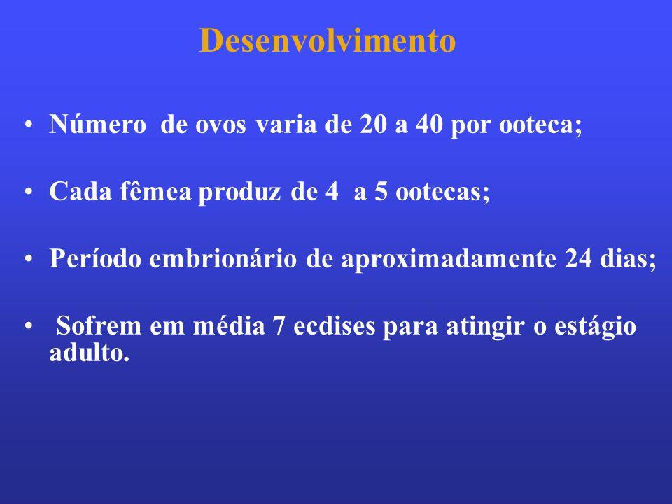 Desenvolvimento Número de ovos varia de 20 a 40 por ooteca;