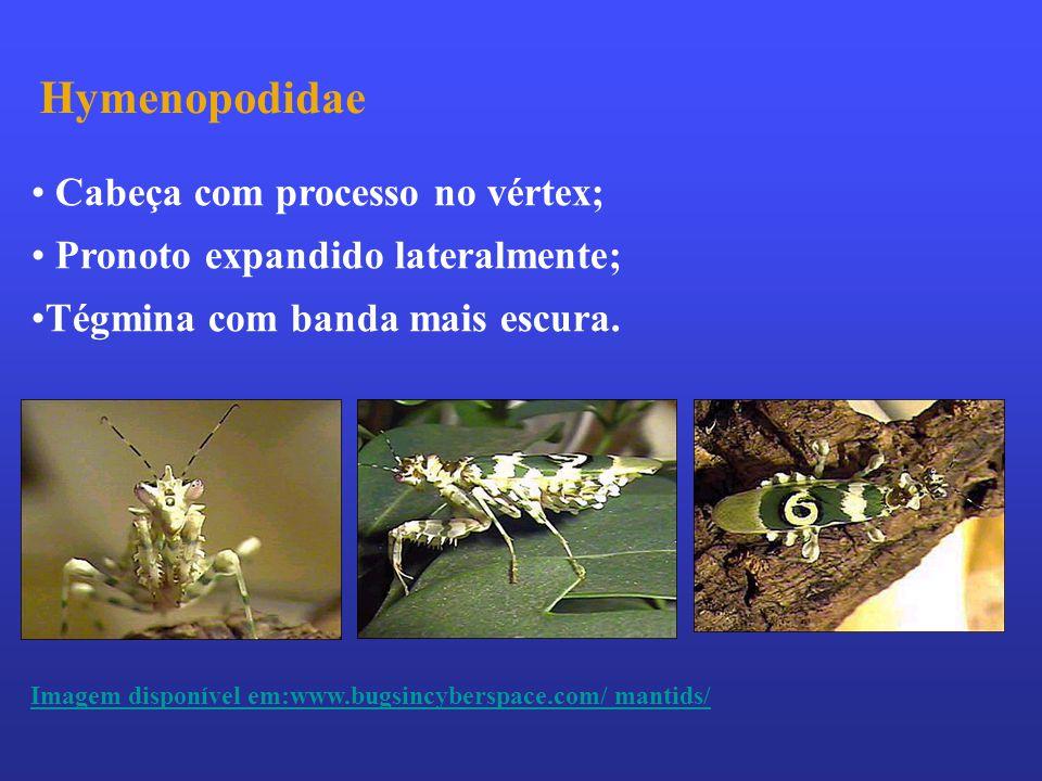 Hymenopodidae Cabeça com processo no vértex;