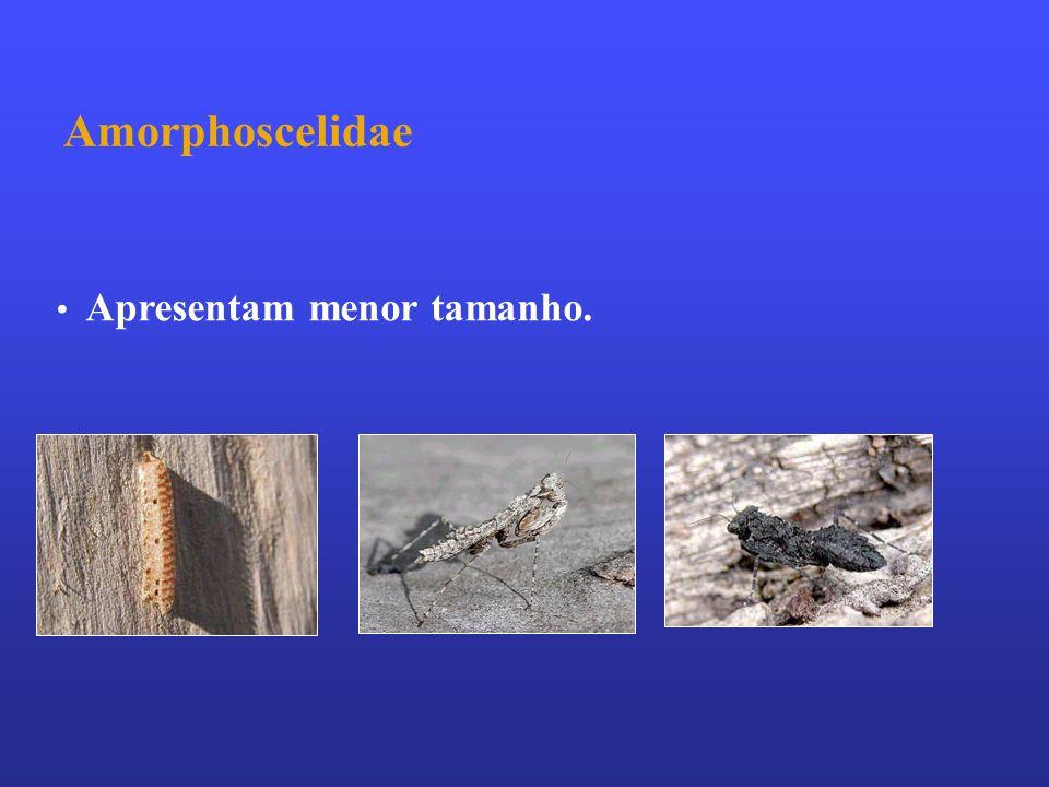 Amorphoscelidae Apresentam menor tamanho.