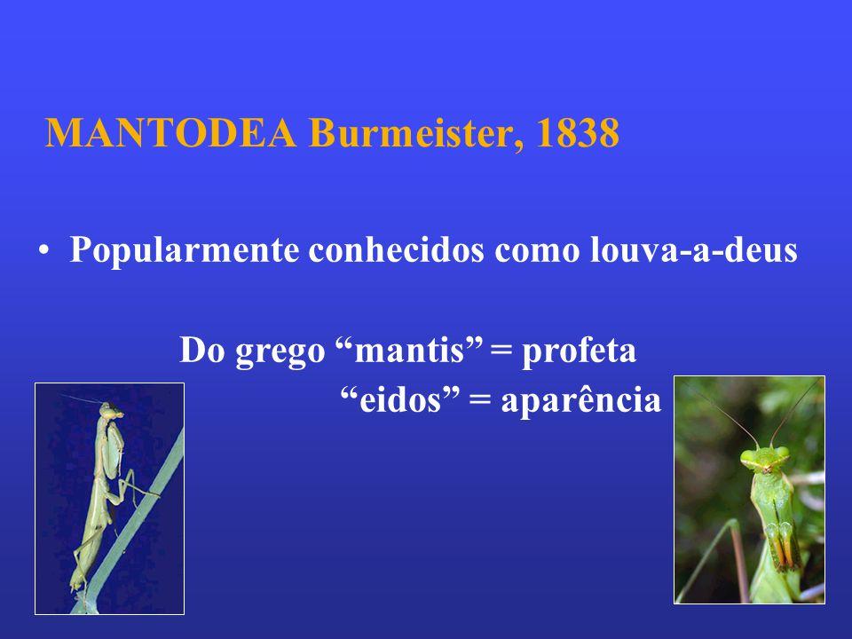 MANTODEA Burmeister, 1838 Popularmente conhecidos como louva-a-deus Do grego mantis = profeta eidos = aparência.