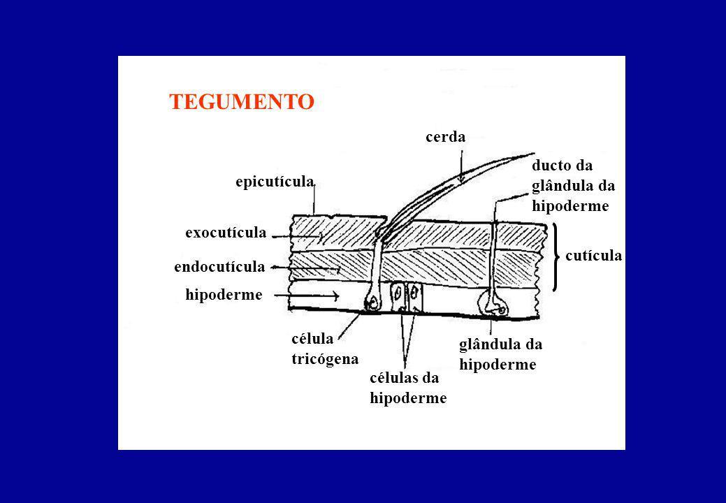 TEGUMENTO cerda ducto da glândula da hipoderme epicutícula exocutícula