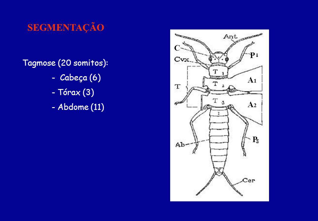 SEGMENTAÇÃO C P Tagmose (20 somitos): - Cabeça (6) - Tórax (3) A1