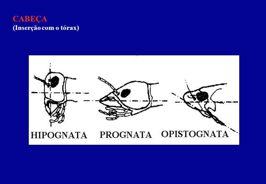 CABEÇA (Inserção com o tórax)