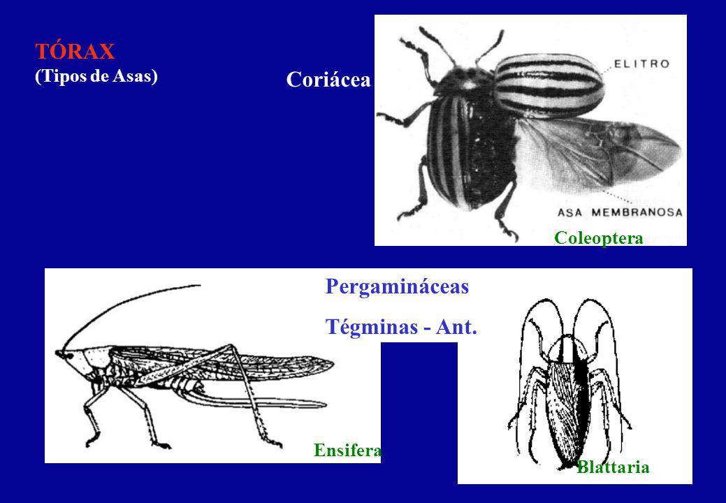 TÓRAX (Tipos de Asas) Coriácea Pergamináceas Tégminas - Ant.