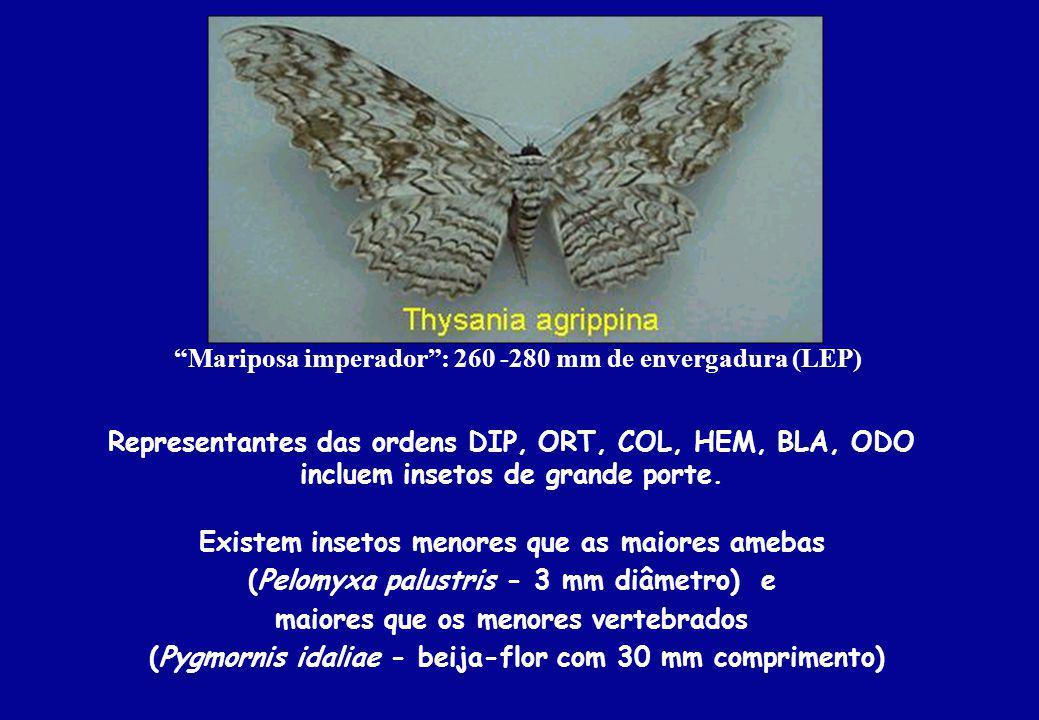 Mariposa imperador : 260 -280 mm de envergadura (LEP)
