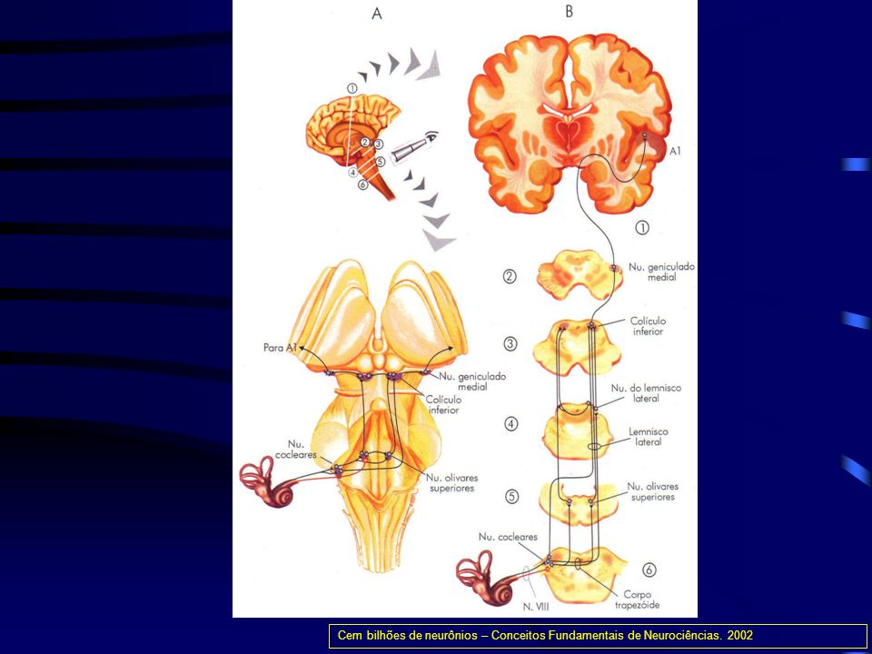 Cem bilhões de neurônios – Conceitos Fundamentais de Neurociências