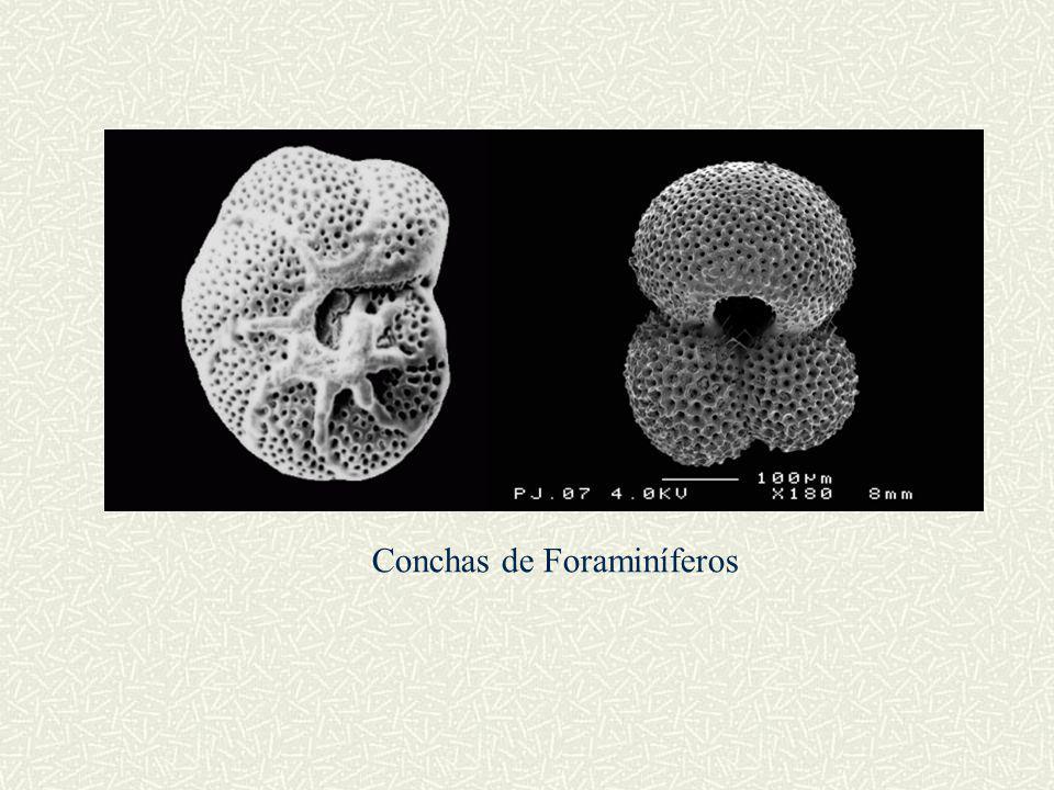 Conchas de Foraminíferos