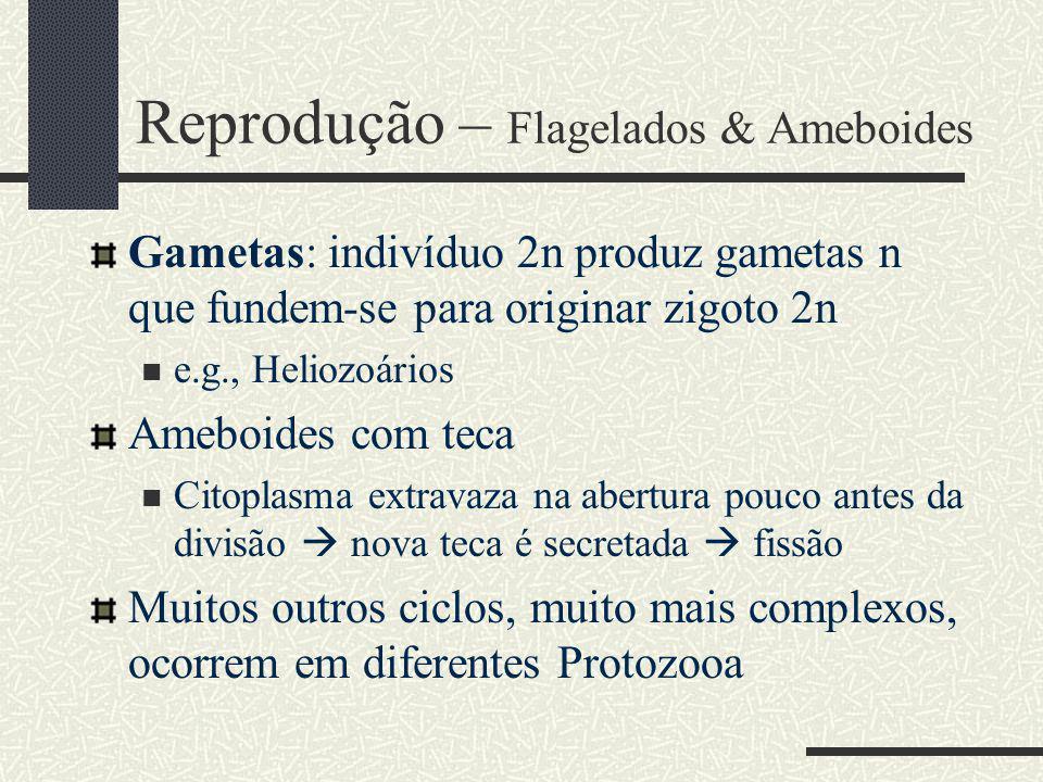 Reprodução – Flagelados & Ameboides