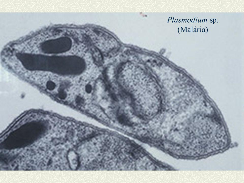 Plasmodium sp. (Malária)