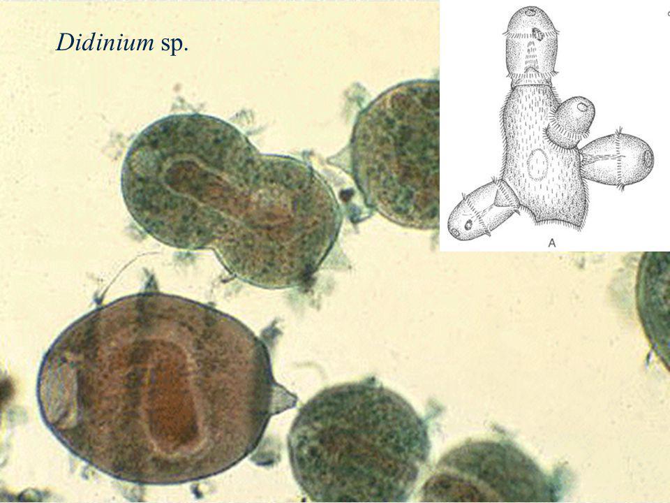 Didinium sp.