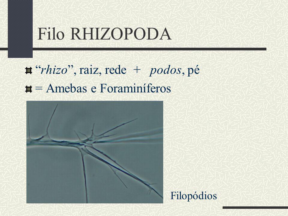 Filo RHIZOPODA rhizo , raiz, rede + podos, pé