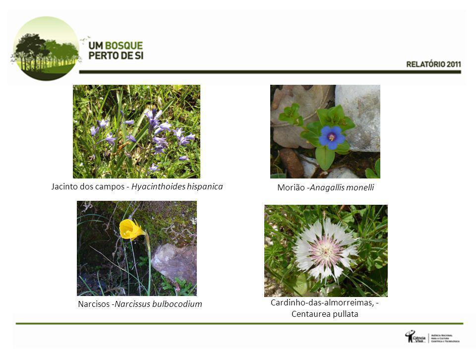 Jacinto dos campos - Hyacinthoides hispanica Morião -Anagallis monelli