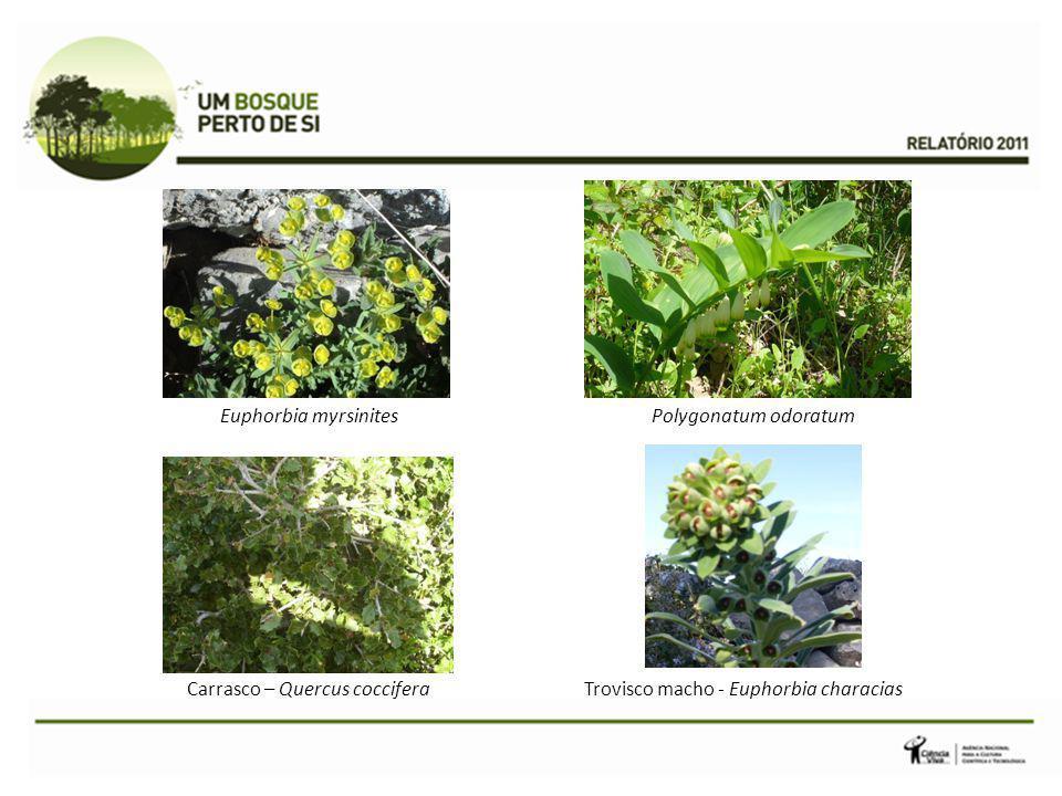 Carrasco – Quercus coccifera Trovisco macho - Euphorbia characias