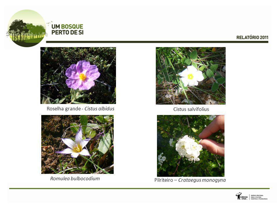 Roselha grande - Cistus albidus Cistus salvifolius
