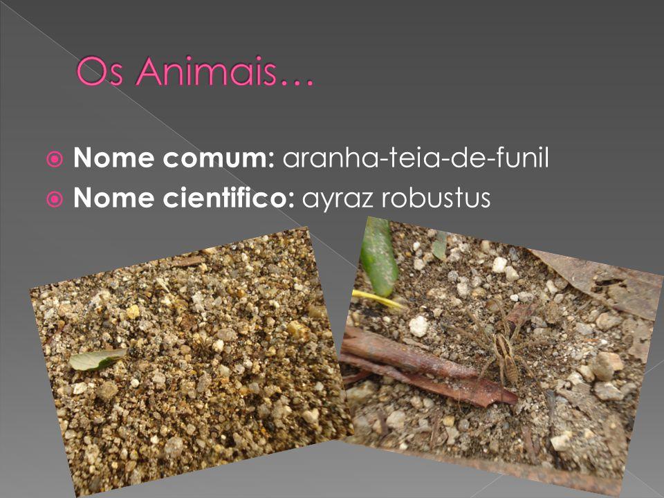 Os Animais… Nome comum: aranha-teia-de-funil
