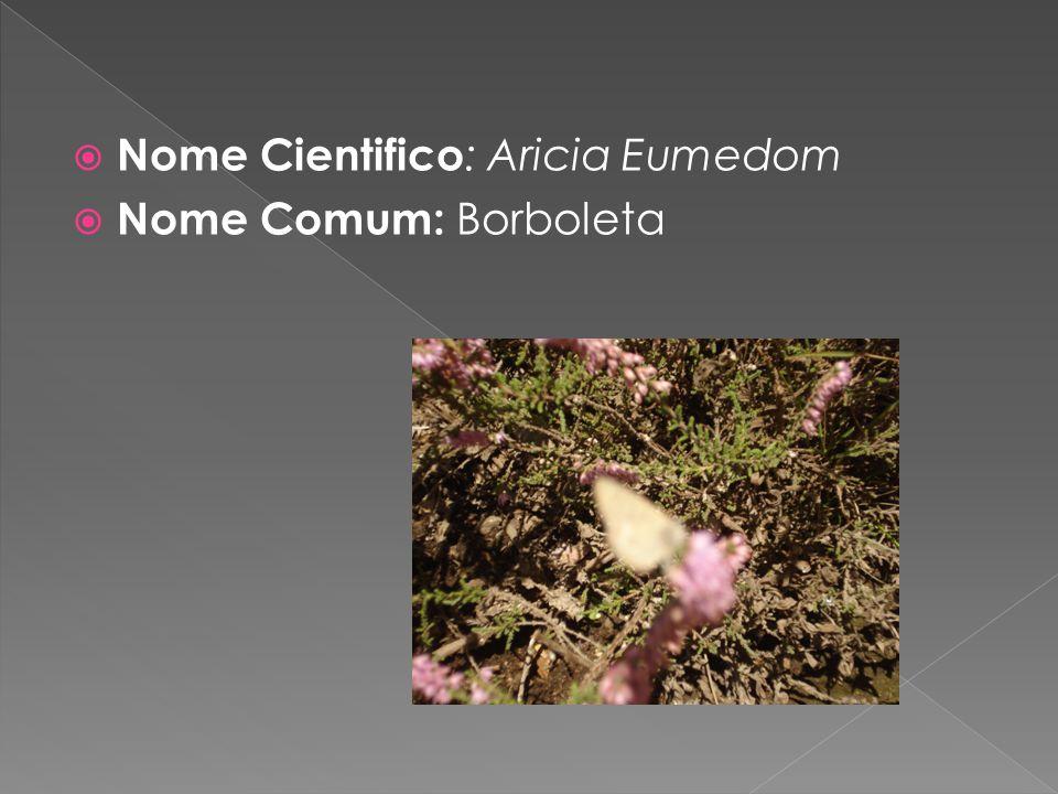 Nome Cientifico: Aricia Eumedom