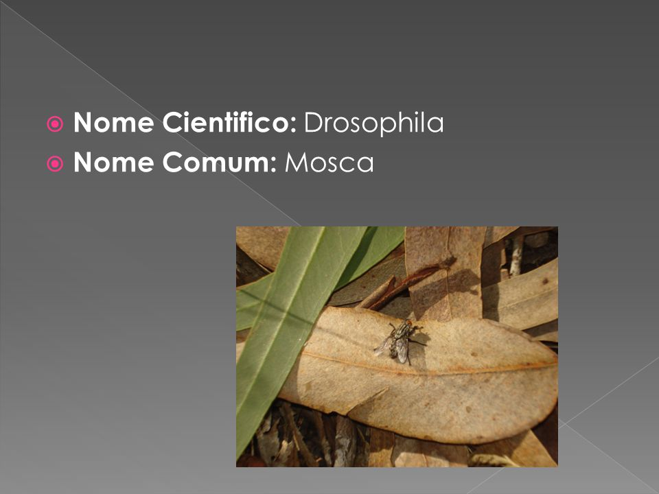 Nome Cientifico: Drosophila