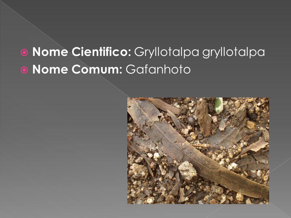 Nome Cientifico: Gryllotalpa gryllotalpa