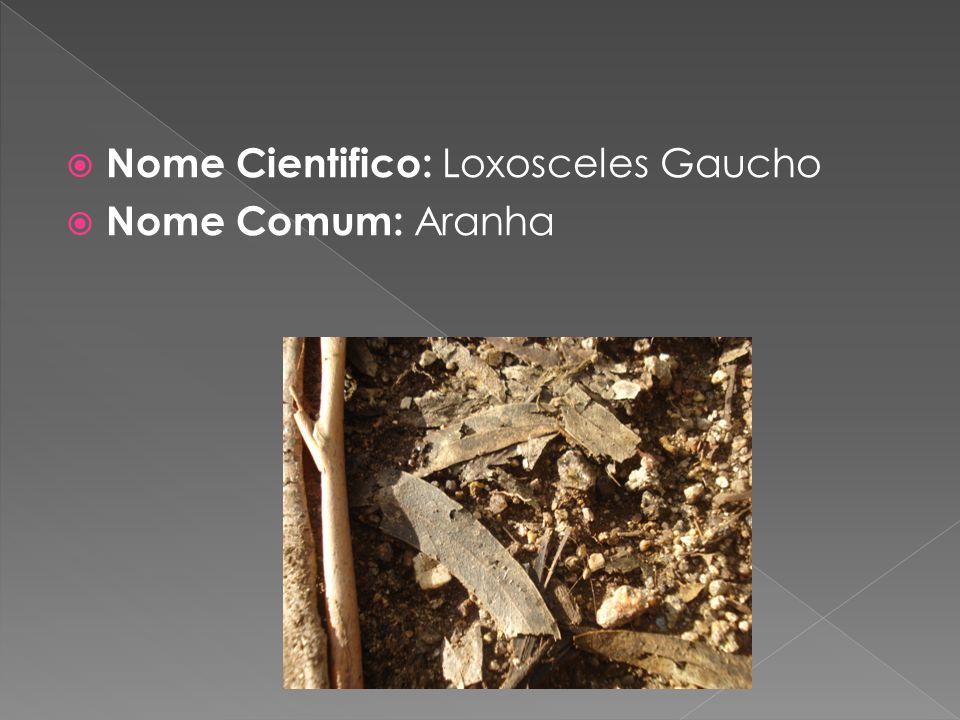 Nome Cientifico: Loxosceles Gaucho