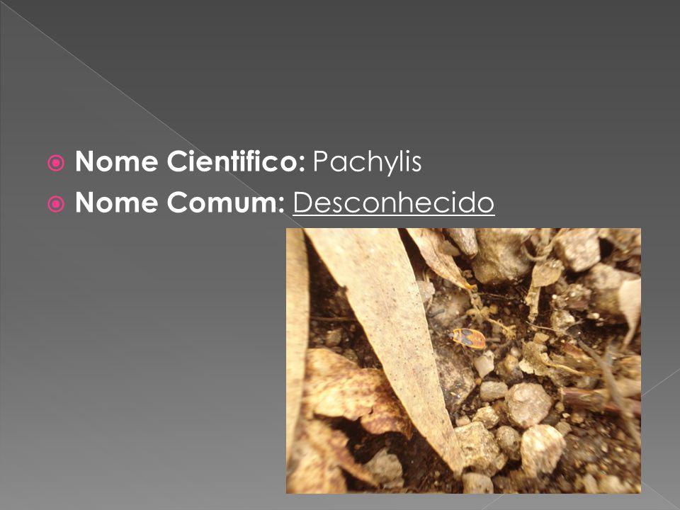Nome Cientifico: Pachylis