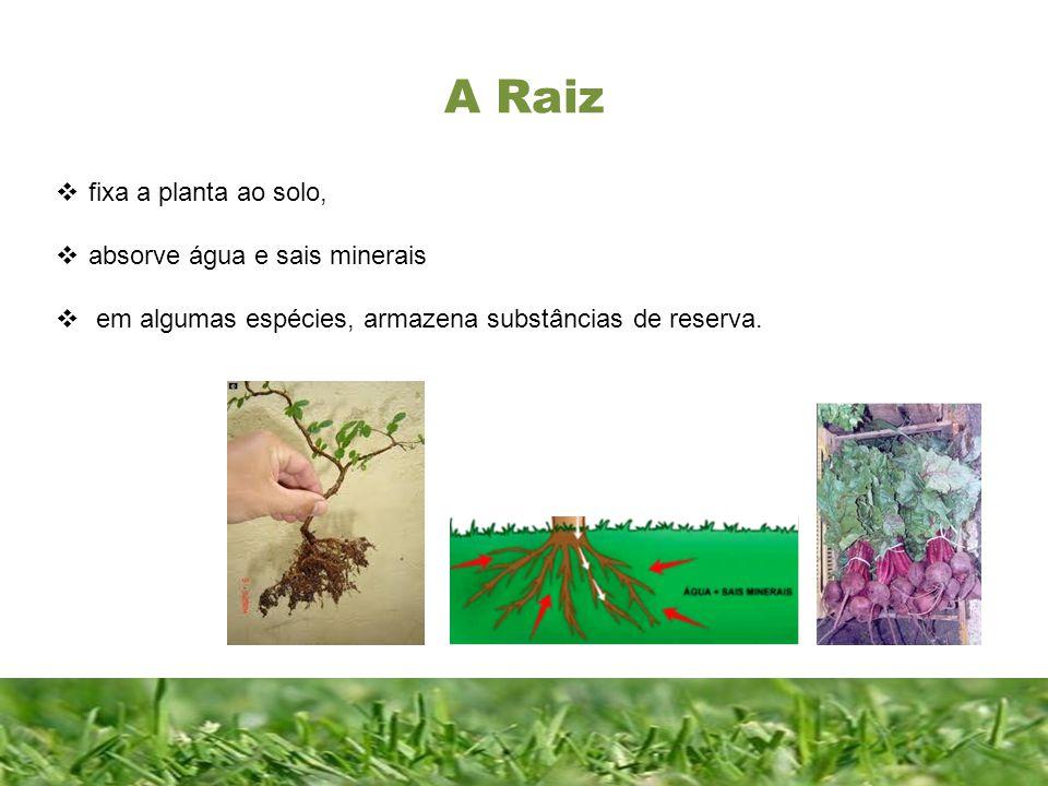 A Raiz fixa a planta ao solo, absorve água e sais minerais