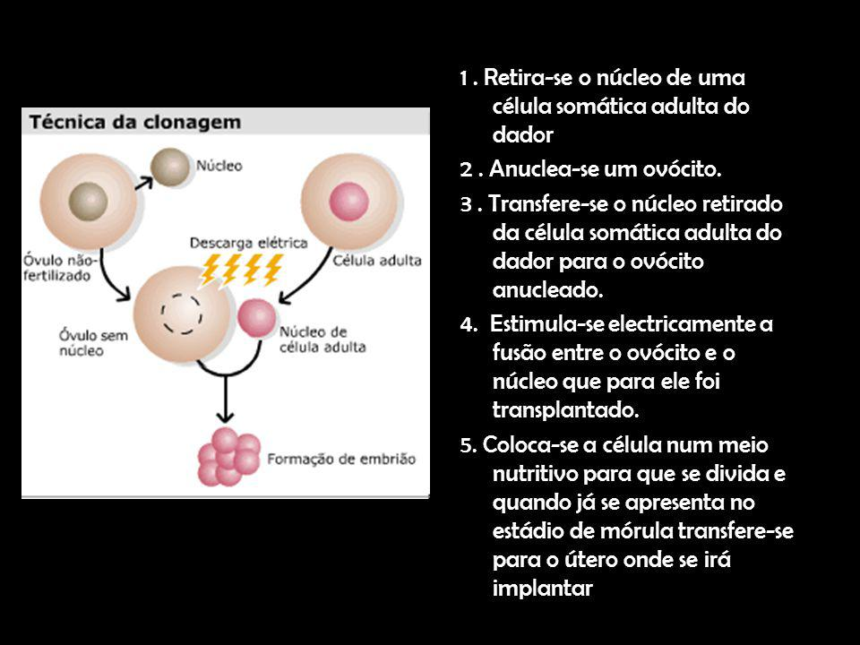 1 . Retira-se o núcleo de uma célula somática adulta do dador