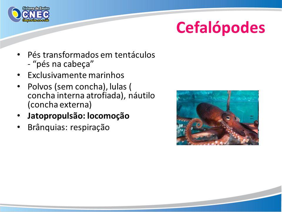 Cefalópodes Pés transformados em tentáculos - pés na cabeça