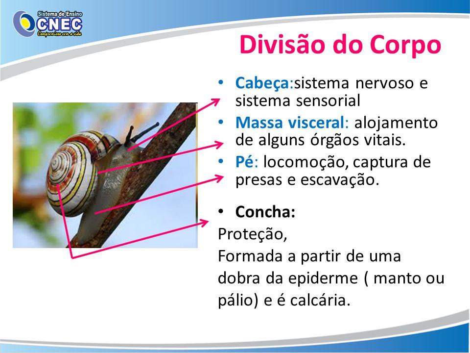 Divisão do Corpo Cabeça:sistema nervoso e sistema sensorial