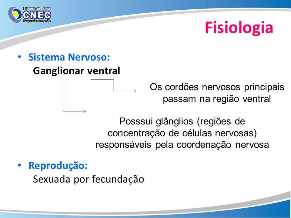 Os cordões nervosos principais passam na região ventral