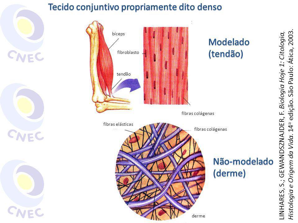 Tecido conjuntivo propriamente dito denso