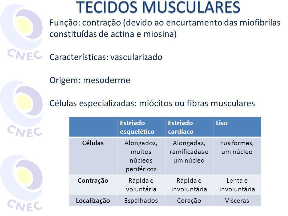 TECIDOS MUSCULARES Função: contração (devido ao encurtamento das miofibrilas constituídas de actina e miosina)