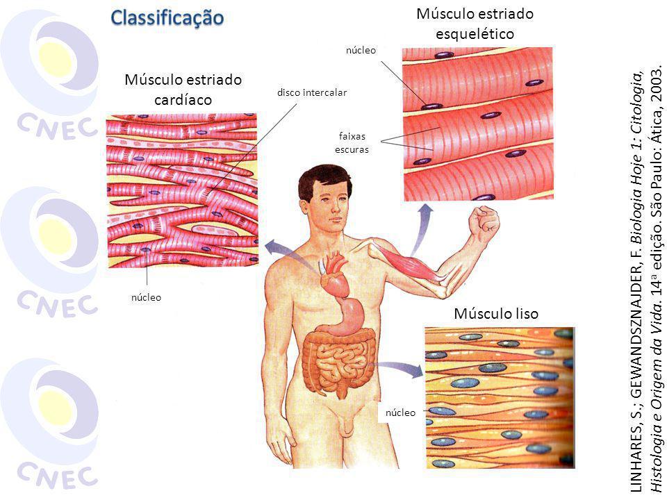 Classificação Músculo estriado esquelético Músculo estriado cardíaco